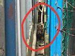 harimau-sumatera-terjebak-di-ruko.jpg
