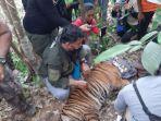 harimau-sumatera-terjerat-di-perkebunan-warga.jpg