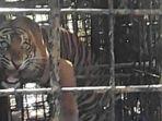 Cerita Penangkapan Harimau Sumatera Putra dan Putri Singgulung di Nagari Gantung Ciri, Solok, Sumbar