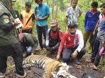 harimau-terjerat1.jpg