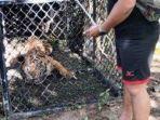 harimau-yang-diduga-memangsa-ternak-berhasil-masuk-perangkap-yang-dipa.jpg