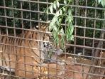 Remaja Tewas Diterkam Harimau di Hutan, Ditemukan dari Bercak Darah yang Berserakan di Tanah