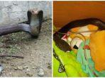 heboh-penemuan-ular-mematikan-di-tangsel-sembunyi-dalam-kardus-mainan-anak.jpg
