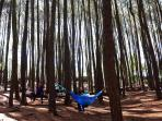 hutan-pinus_20160530_110135.jpg