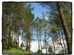 hutan-pohon-pinus.jpg