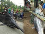 ikan-marlin-berbobot-250-kg-ditangkap-nelayan-di-perairan-pangandaran_20180613_151404.jpg