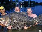 ikan-mas-seberat-105-kilogram.jpg