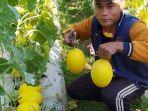 ikramullah-ketua-perhimpunan-petani-muda-pamekasan-dan-buah-melon-golden.jpg