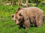 ilustrasi-beruang-liar-1.jpg