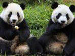 ilustrasi-dua-ekor-panda-ilustrasi-panda.jpg