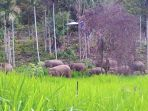 ilustrasi-gajah-gajah-liar_20170710_113521.jpg