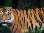 ilustrasi-harimau-17112019.jpg