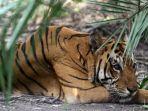Harimau Sumatera Masuk Perangkap di Aceh Singkil
