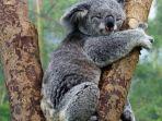 ilustrasi-hewan-koala.jpg