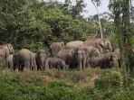 ilustrasi-kawanan-gajah-liar_1.jpg