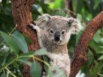 ilustrasi-koala6890.jpg