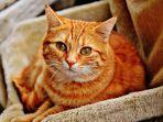 ilustrasi-kucing-orange.jpg