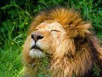 Viral di Medsos, Singa di Kebun Binatang Tewas Mengenaskan di Depan Pengunjung