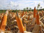 Kementan Jalin Kerjasama  Optimalkan Pemenuhan Jagung Rendah Aflatoxin