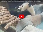 ingin-bertemu-sepasang-panda-asal-tiongkok-datang-saja-ke-taman-safari-bogor_20171217_175546.jpg