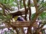isolasi-diri-di-pohon-india.jpg