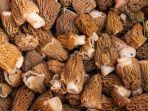 Meski Dilarang, Jamur Mematikan Ini Masih Banyak Dikonsumsi di Finlandia