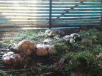 kandang-dimana-6-kambing-milik-sanan-wa_20180110_195422.jpg