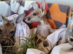 kanguru_20160621_045850.jpg
