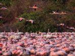 kawanan-flamingo-mumbai.jpg