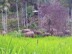 kawanan-gajah-liar-berkeliaran_20181021_083324.jpg