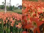 kebun-bunga-amarilis.jpg