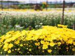 kebun-bunga-krisan_20170316_093329.jpg