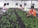 kebun-bunga-milik-mufidah-jk-budidaya-bunga-krisan_20160211_225916.jpg