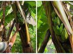 kejadian-aneh-di-majalengka-buah-pisang-keluar-dari-batang-pohonnya-ini-kesaksian-warga-sekitar.jpg