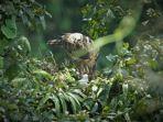 kelahiran-elang-jawa-nisaetus-bartelsi-di-taman-nasional-gunung-halimun-salak.jpg