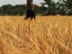 kemarau-panjang-petani-padi-gagal-panen_20150912_232940.jpg