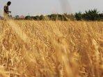 kemarau-panjang-petani-padi-gagal-panen_20150912_233035.jpg