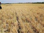 kemarau-panjang-petani-padi-gagal-panen_20150912_233152.jpg