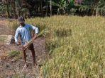 Pemprov DKI Perluas Cakupan Serapan Beras dari Ngawi