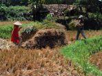 keringnya-irigasi-petani-sindangkerta-panen-padi-lebih-awal_20200727_221841.jpg