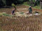 keringnya-irigasi-petani-sindangkerta-panen-padi-lebih-awal_20200727_221842.jpg