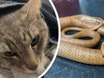 kucing-peliharaan-mati-setelah-lindungi-anak-pemilik-rumah-dari-gigitan-ular-berbisa.jpg