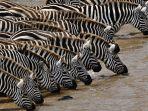 kuda-zebra_20170207_192738.jpg