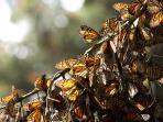 kupu-kupu-di-taman-wintering-kupu-kupu-di-meksiko_20151220_171711.jpg