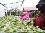 kwt-berkah-mbr-yang-memberdayakan-diri-melalui-kegiatan-urban-farming.jpg