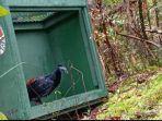 KLHK Melepasliarkan Ayam Jembang dan Bajing Tiga Warna di Taman Nasional Gunung Maras