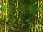 Lima Macan Tutul Terpantau Huni Kawasan Taman Nasional Gunung Ciremai