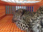 macan-tutul-jenis-panthera1.jpg