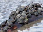 Dua Bangkai Kura Kura Ditemukan di Pantai Wilayah Gunungkidul