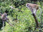 monyet-ekor-panjang-di-kawasan-hutan-lindung-sekupang_20181017_234121.jpg